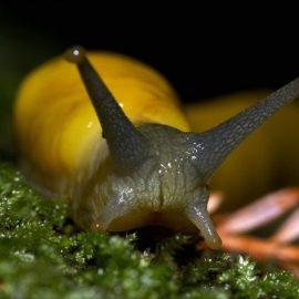 To Kiss a Banana Slug
